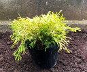 ゴールデンモップ1Pot(送料無料)常緑低木苗 15.0cmVP(大株) コニファー 黄葉 カラーリーフ