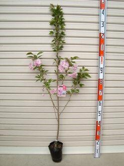 大一新生嫁接苗堪薩斯州櫻花開花樹木、 櫻桃、 櫻花
