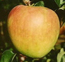 【ぐんま名月】Y台 1年生接木苗わい性台木・リンゴ[果樹苗木・林檎・りんご]
