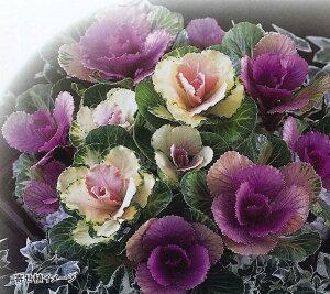 秋~春まで長期間楽しめる!光沢とメタリックな質感をもった新タイプの葉牡丹(ハボタン)【花...