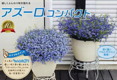 【花苗販売4月上~発送】サントリー アズーロ・コンパクト10.5cmポット苗