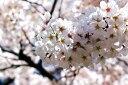 日本を代表する花木満開の花・・桜吹雪 春が感じられます日本の代表的な桜 ソメイヨシノ樹高1.8...