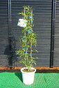 人気のバラ苗♪【バラ苗】 モッコウバラ(白花) 鉢苗 白色の花が咲くつる性バラ♪【あす楽対応_九州】