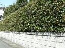 トゲトゲの葉っぱ☆常緑で魔除けの縁起樹として有名です♪ヒイラギモクセイ(柊木犀) 樹高1.0m...