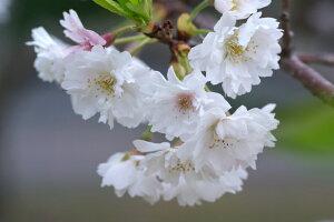 日本を代表する花木満開の花・・桜吹雪 春が感じられますジュウガツザクラ(十月桜) 樹高2.5m...