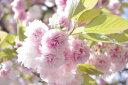日本を代表する花木満開の花・・桜吹雪 春が感じられますフゲンゾウザクラ(普賢象)樹高2.5m前...