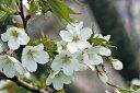 日本を代表する花木満開の花・・桜吹雪 春が感じられますオオシマザクラ(大島桜)樹高2.5m前後...