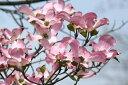 【赤花】大輪品種ハナミズキ/チェロキーチーフ【赤花】樹高2.0m前後(アメリカヤマボウシ)【あ...