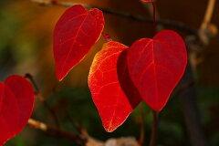 ハート形の葉が紅葉します【紅葉が美しい】マルバノキ(ベニマンサク)樹高1.8m前後【あす楽対...