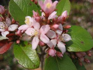 梅の花に似た可愛らしい花♪ヒメシャリンバイ 樹高0.8m前後ポット苗 常緑樹【あす楽対応_九州】