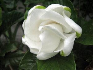 甘〜い香り漂う花が咲きます♪クチナシ(八重咲き)樹高30cm前後 花は切花にも♪【あす楽対応_...