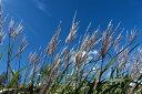 明るい斑が入った品種タカノハススキ ポット苗 秋の山里を代表する植物【斑入り】【あす楽対応_...