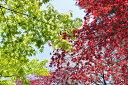 ひと際目立つ紅色の葉っぱ☆ノムラモミジ樹高1.5m前後 単木(ポット苗)赤もみじ・紅葉【あす楽...