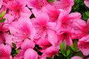 【一重・ピンク花】の品種☆日本の気候によく合うサツキ!サツキ/大盃(オオサカズキ) 樹高20c...