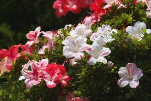 【白〜ピンク花】の品種☆日本の気候によく合うサツキ!サツキ/レインボー(咲き分け)樹高20cm...