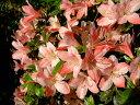 【絞り赤桃色の花】四季咲きの品種☆日本の気候によく合うサツキ!サツキ/月光(ゲッコウ)樹高...
