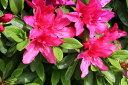 大輪の綺麗な花♪平戸ツツジ/赤花 樹高30cm前後 【花期:4〜6月】【あす楽対応_九州】