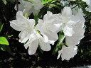 【一重咲き/白花】大輪の綺麗な花♪平戸ツツジ/白花 樹高30cm前後 【花期:4〜6月】【あす楽対...