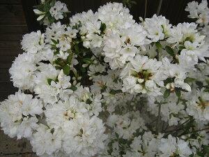 人気のツツジ!品種によって様々♪種類や花色、お気に入りの一本を!クルメツツジ/暮れの雪(ク...