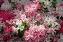 人気のツツジ!品種によって様々♪種類や花色、お気に入りの一本を!クルメツツジ/常夏(トコナ...