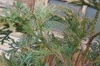 アスナロ 樹高1.2m前後 露地苗