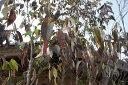 【大型商品】常緑ヤマボウシ/ヒマラヤ 株立 樹高2.5m前後 露地苗 シンボルツリー 常緑樹