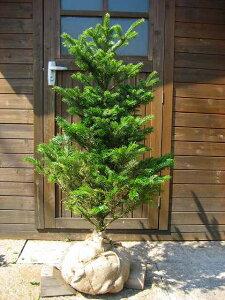 今年のクリスマスには本物のツリーで♪本物のクリスマスツリー☆もみの木!(ウラジロモミ)樹高...