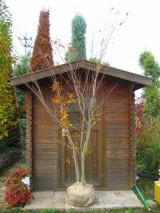 自然な庭に合い、紅葉も楽しめます♪アカシデ 株立ち!樹高2.0m アカメ・ソロ シンボルツリーに...