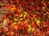 ◇◆美しい幹が魅力です☆ヒメシャラ株立ち!!樹高2.5m前後◆◇