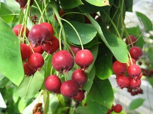 ガーデニングに最近注目の果樹です♪もちろんジャムなど食用もOK♪ジューンベリー樹高2.5m前後...