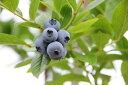 【果樹苗】ブルーベリー ノーザンハイブッシュ系 【ブルーチップ】 3.5号ポット 【落葉低木】【あす楽対応_九州】