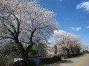 日本を代表する花木満開の花・・桜吹雪 春が感じられますシンボルツリーに!ソメイヨシノ樹高2....