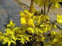 春の訪れと共に満開に花咲く♪【春の花】黄金色が色鮮やか☆レンギョウ樹高60cm前後 庭木・生垣...