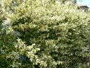 花も咲き生垣に人気の樹木です生垣に大人気の樹木☆トキワマンサク樹高1.2m前後 青葉・白花 常...