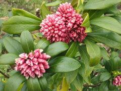 甘〜い香りが漂う花♪沈丁花・ジンチョウゲ 赤花 樹高30cm前後 庭木・常緑【あす楽対応_九州…