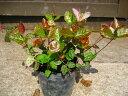 冬に変化する葉色が綺麗なつる性植物ハツユキカズラ/ポット苗 グランドカバー・下草に最適!【...