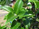 トゲトゲの葉っぱ☆常緑で魔除けの縁起樹として有名です♪ヒイラギモクセイ(柊木犀) 樹高1.5m前...