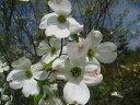 花つきがよく可愛らしい花を沢山咲かせます♪ハナミズキ 白花 樹高1.8m前後 花つきの良いハナミ...