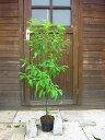 S2-クスノキ 樹高60cm
