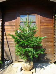 今年のクリスマスには本物のツリーで♪【今ならLED電飾プレゼント】本物のクリスマスツリー☆も...