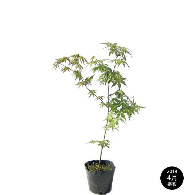 モミジ(紅葉)/イロハモミジ(伊呂波紅葉) 単木 樹高30〜50cm前後 ポット苗 シンボルツリー 落葉樹