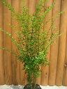 洋風ガーデンに♪刈り込みにも強く、お手頃な木☆プリペット樹高1.0m前後 生垣に人気のある常緑...