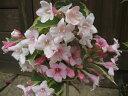 花も葉っぱも楽しめる♪斑入り♪苗可愛いピンクの花♪☆斑入りウツギ☆ ポット入。樹高80cm前後...