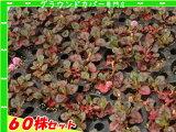 ポリゴナム ビクトリーカーペット(ヒメツルソバ) たっぷり60株セット 1株あたり67円【緑のじゅうたんを作りましょう♪】