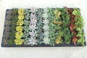 多肉植物 おまかせ じゅうたん