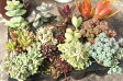 【多肉植物】ことぶきプラグ苗 品種が選べる12株セット【セダム、エケベリア等】