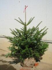 もみの木 モミの木 クリスマスツリー 100cm クリスマス 購入 鉢植えではないです。トウヒではな...