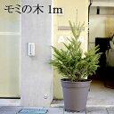 【送料無料】「もみの木 クリスマスツリー 購入」今年こそ!本物モミの木の生ツリー!【高さ:100cm】届いて・植えて・すぐ綺麗!鉢植えではないです。トウヒではない本物! ウラジロモミ【メッセージカード不可】【離島・沖縄配送不可】の商品画像