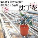 【送料無料】沈丁花(ジンチョウゲ)5年生5寸癒し効果の香りが魅力!春を知らせる香り!