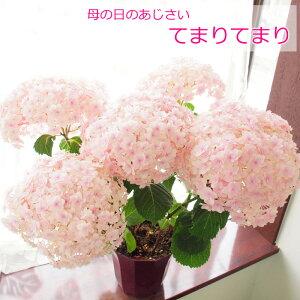 【楽天母の日特集に紹介されました!】母の日 あじさい 「てまりてまり」 紫陽花 鉢植え プレゼ…